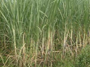 UNINOCULATED SUGARCANE