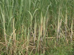 INOCULATED SUGARCANE