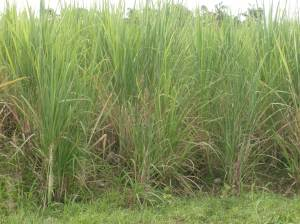 UNINOCULATED SUGARCANE (5 months old)